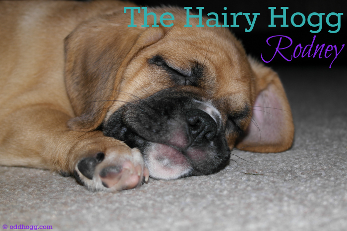 The hairy Hogg in our household is our dog, Rodney the puggle. This post shares some pictures of our pet and having him around babies and children oddhogg.com