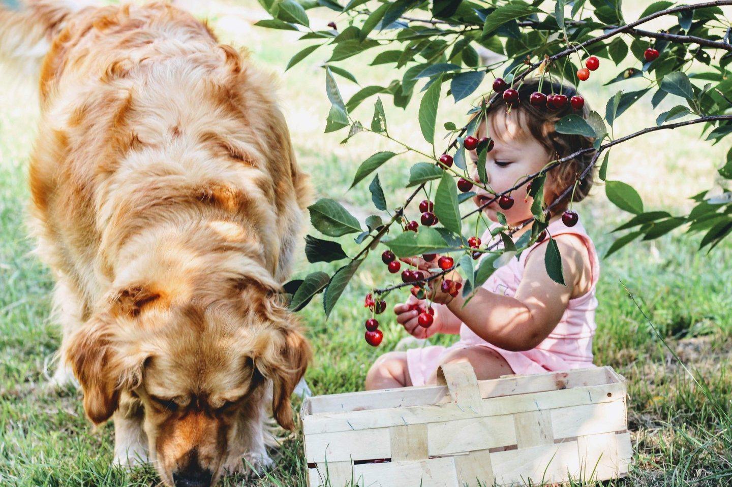 A little girl picking cherries with a dog