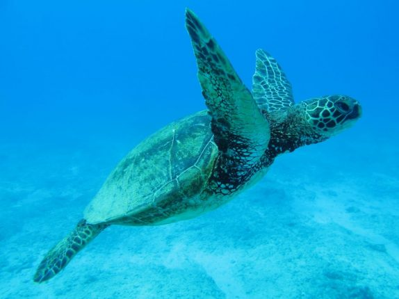 Taking A Dream Holiday In Hawaii | Sea Turtle https://oddhogg.com