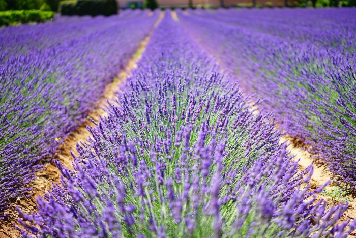 5 Things To Do In York With Kids | Lavender farm www.oddhogg.com