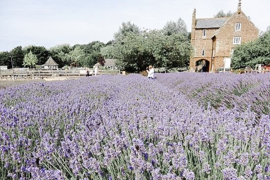 A lavender field with a stone building in the background
