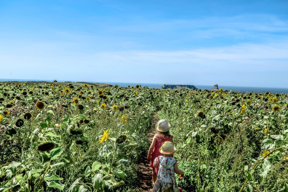2 girls are walking away from the camera through a field of sunflowers in South West Wales