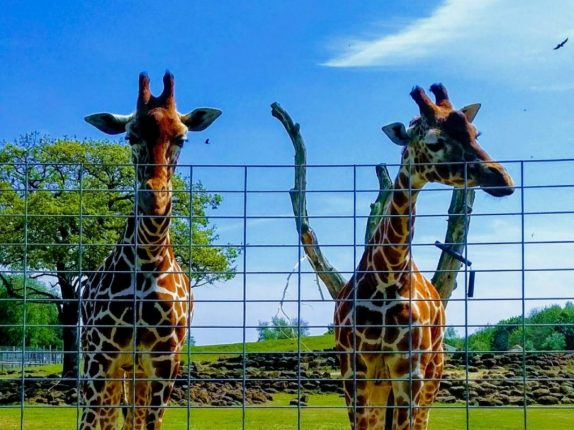 Two giraffe standing behind a fence with a bright blue sky behind them