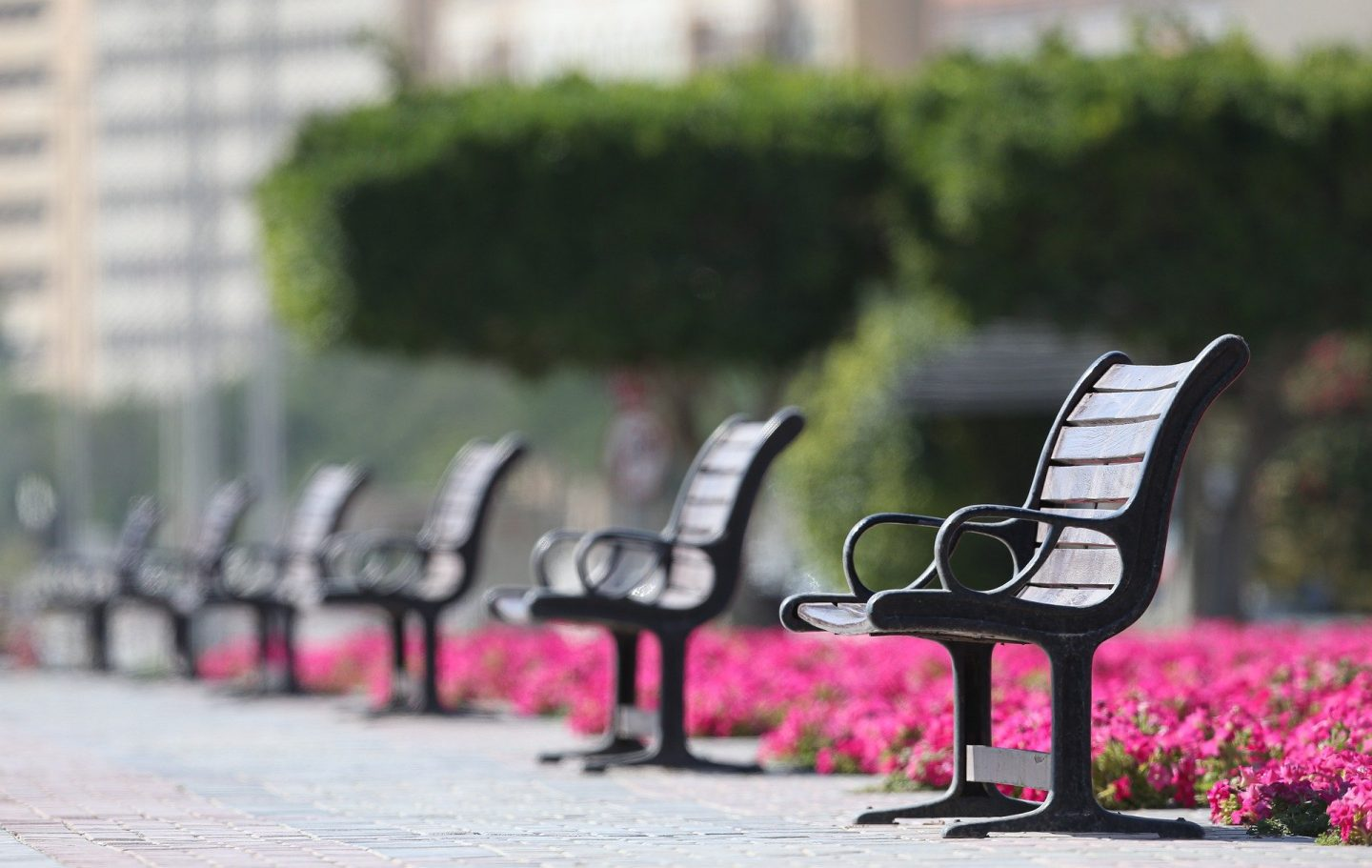A row of empty benches in a park with pink flowers behind them